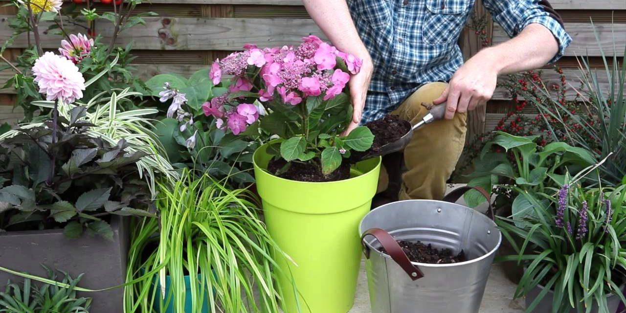Comment planter un hortensia ?